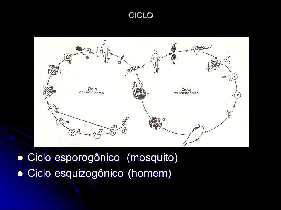 CICLO Ciclo esporogônico (mosquito) Ciclo esporogônico (mosquito) Ciclo esquizogônico (homem) Ciclo esquizogônico (homem)