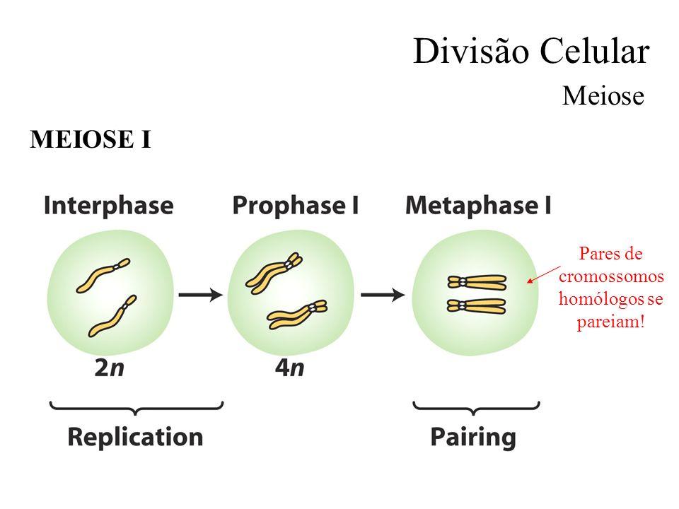 Divisão Celular Meiose MEIOSE I Pares de cromossomos homólogos se pareiam!