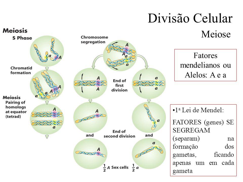 Divisão Celular Meiose Fatores mendelianos ou Alelos: A e a 1 a Lei de Mendel: FATORES (genes) SE SEGREGAM (separam) na formação dos gametas, ficando
