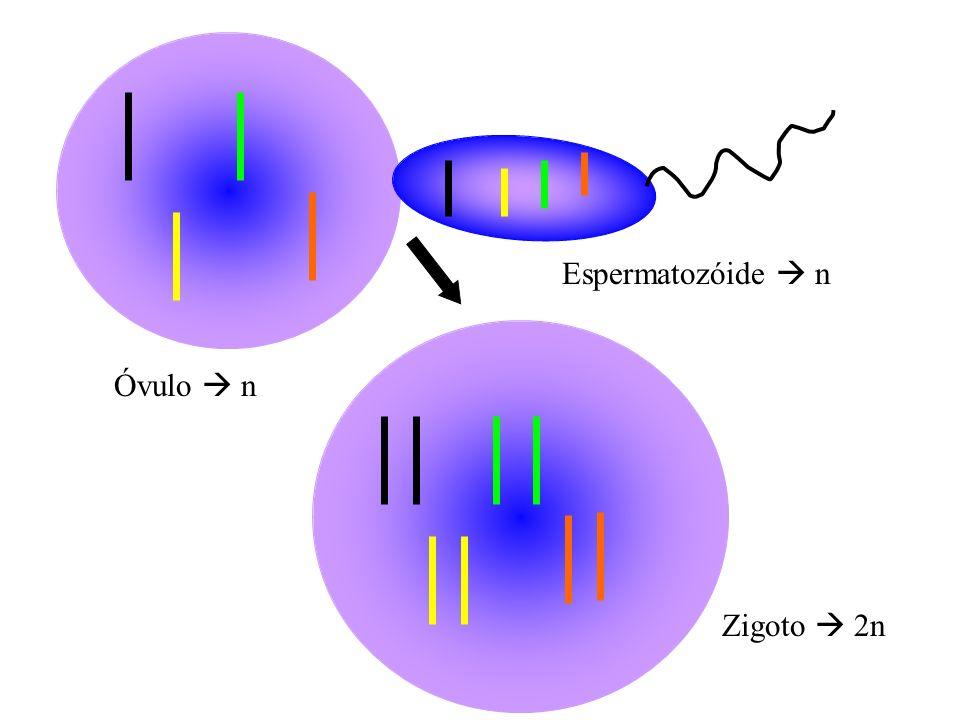 Óvulo n Espermatozóide n Zigoto 2n