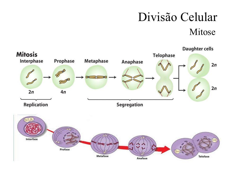 Divisão Celular Mitose