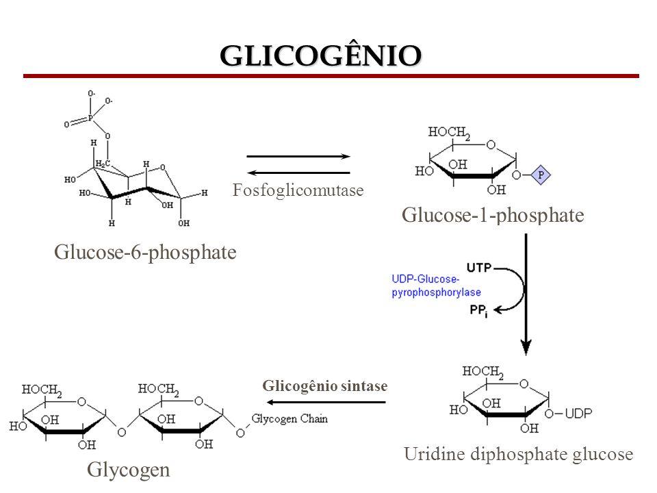 GLICOGÊNIO Glucose-6-phosphate Fosfoglicomutase Glucose-1-phosphate Uridine diphosphate glucose Glicogênio sintase Glycogen