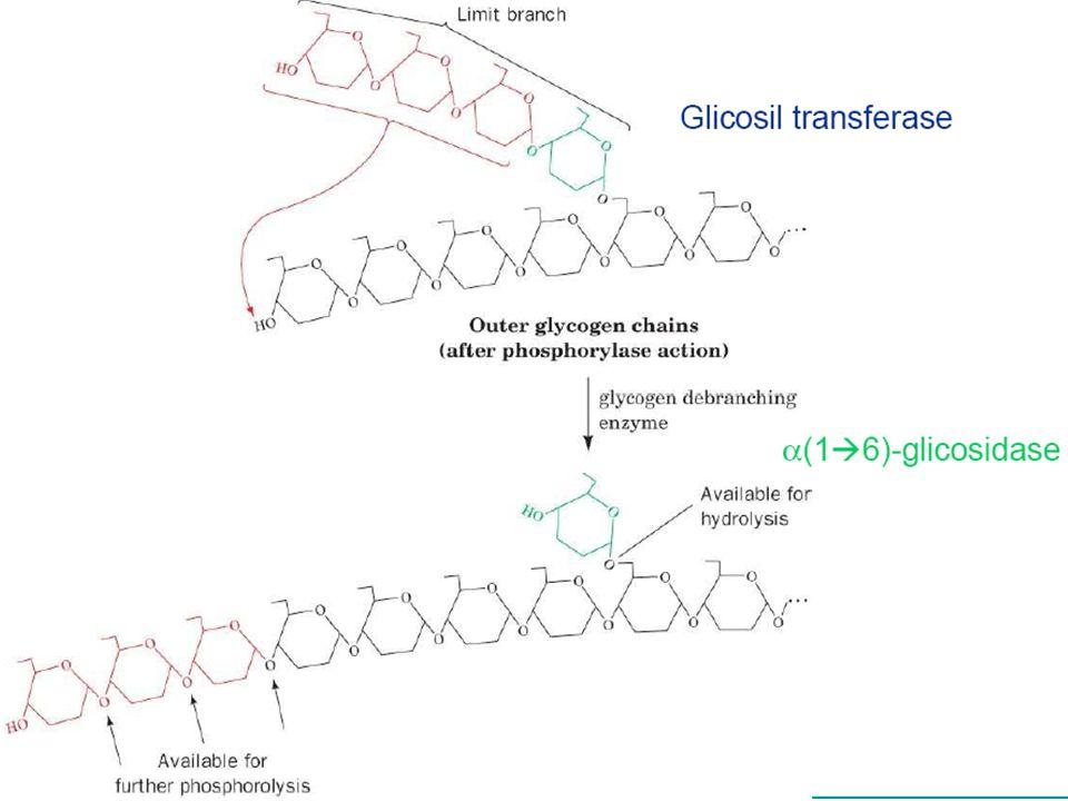Bioquímica II – Prof. Júnior GLICOGENÓLISE