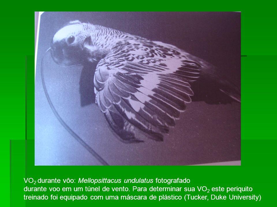 VO 2 durante vôo: Mellopsittacus undulatus fotografado durante voo em um túnel de vento. Para determinar sua VO 2 este periquito treinado foi equipado