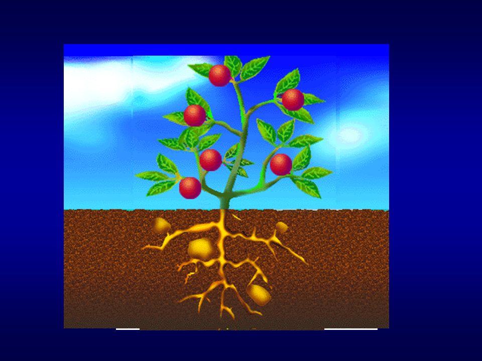 A importância da nutrição mineral Esquema fotossintético da planta