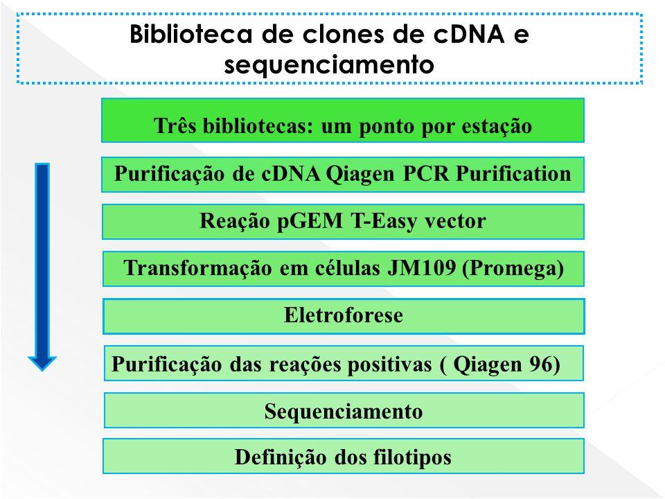 Três bibliotecas: um ponto por estação Purificação de cDNA Qiagen PCR Purification Reação pGEM T-Easy vector Eletroforese Sequenciamento Biblioteca de