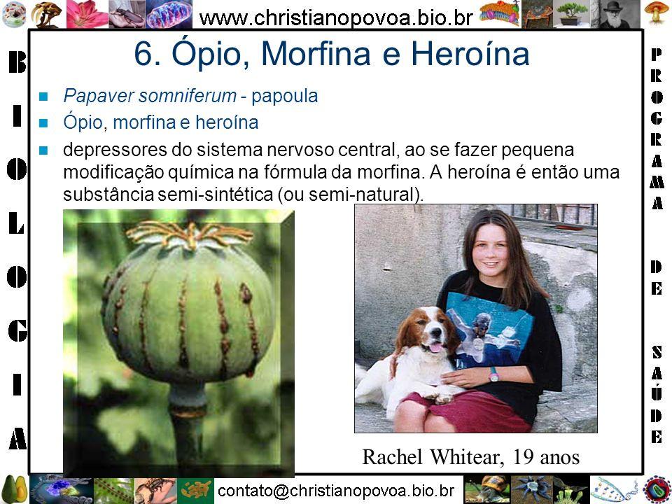 6. Ópio, Morfina e Heroína Papaver somniferum - papoula Ópio, morfina e heroína depressores do sistema nervoso central, ao se fazer pequena modificaçã