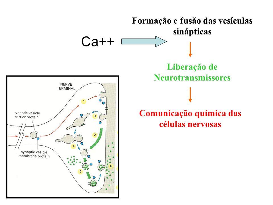 Formação e fusão das vesículas sinápticas Liberação de Neurotransmissores Comunicação química das células nervosas Neurônios e Neuroglias Ca++