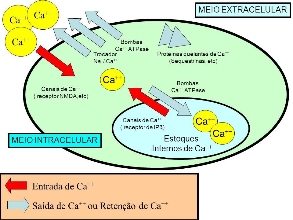 Ca ++ Trocador Na + / Ca ++ Bombas Ca ++ ATPase Bombas Ca ++ ATPase Entrada de Ca ++ Saída de Ca ++ ou Retenção de Ca ++ Canais de Ca ++ ( receptor de