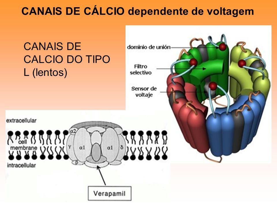 CANAIS DE CÁLCIO dependente de voltagem CANAIS DE CALCIO DO TIPO L (lentos)