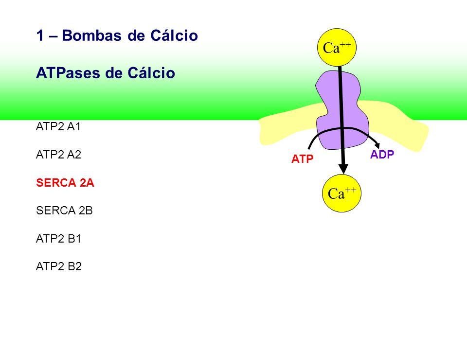 1 – Bombas de Cálcio ATPases de Cálcio ATP2 A1 ATP2 A2 SERCA 2A SERCA 2B ATP2 B1 ATP2 B2 ATP ADP Ca ++
