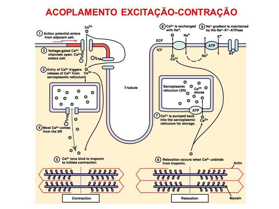 ACOPLAMENTO EXCITAÇÃO-CONTRAÇÃO