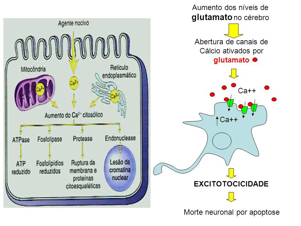 Aumento dos níveis de glutamato no cérebro Abertura de canais de Cálcio ativados por glutamato EXCITOTOCICIDADE Morte neuronal por apoptose Ca++