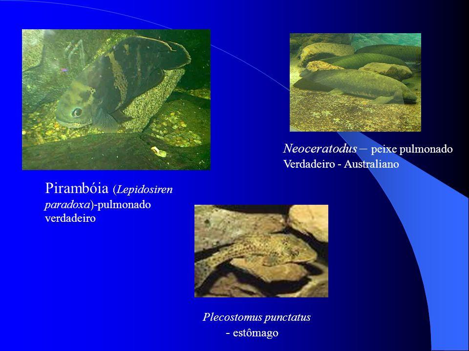 Pirambóia Lepidosiren paradoxa -pulmonado verdadeiro Neoceratodus – peixe pulmonado Verdadeiro - Australiano Plecostomus punctatus - estômago