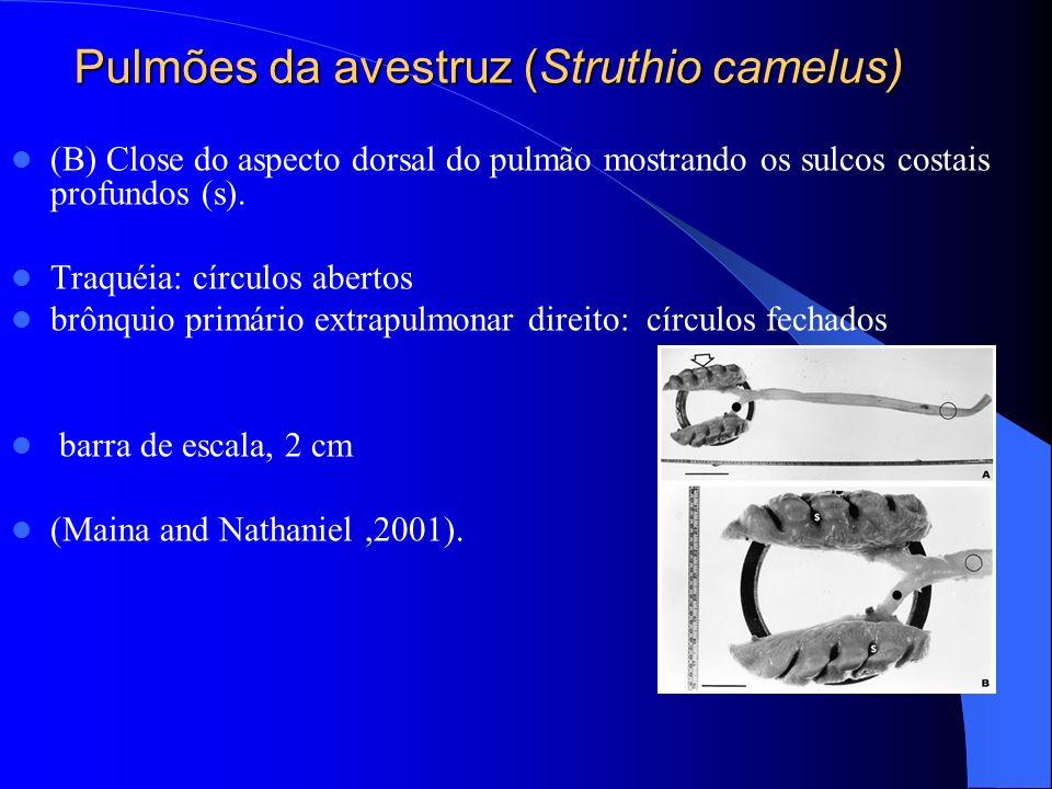 Pulmões da avestruz (Struthio camelus) (B) Close do aspecto dorsal do pulmão mostrando os sulcos costais profundos (s). Traquéia: círculos abertos brô