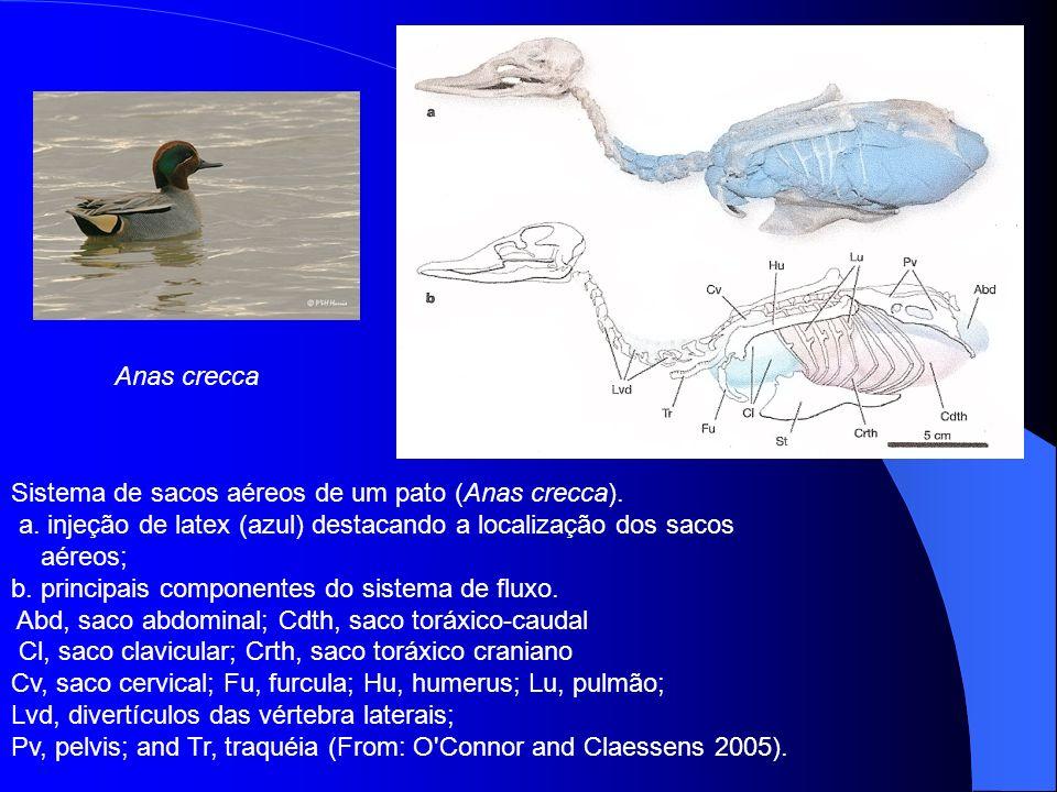 Sistema de sacos aéreos de um pato (Anas crecca). a. injeção de latex (azul) destacando a localização dos sacos aéreos; b. principais componentes do s