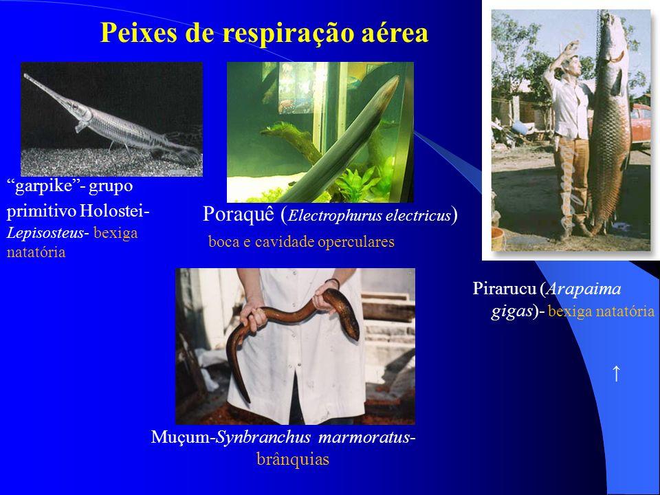 garpike- grupo primitivo Holostei- Lepisosteus- bexiga natatória Poraquê Electrophurus electricus boca e cavidade operculares Peixes de respiração aér