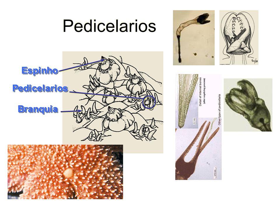 Pedicelarios EspinhoEspinho PedicelariosPedicelarios BranquiaBranquia
