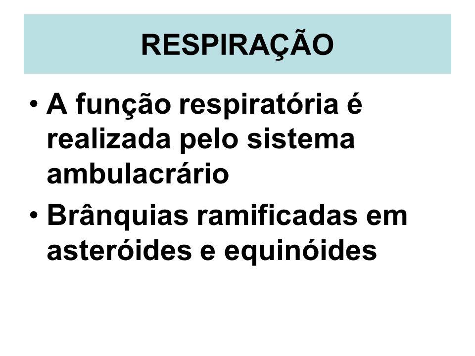 RESPIRAÇÃO A função respiratória é realizada pelo sistema ambulacrário Brânquias ramificadas em asteróides e equinóides