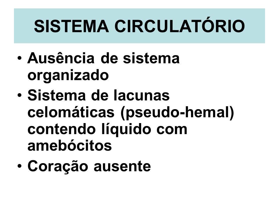 SISTEMA CIRCULATÓRIO Ausência de sistema organizado Sistema de lacunas celomáticas (pseudo-hemal) contendo líquido com amebócitos Coração ausente