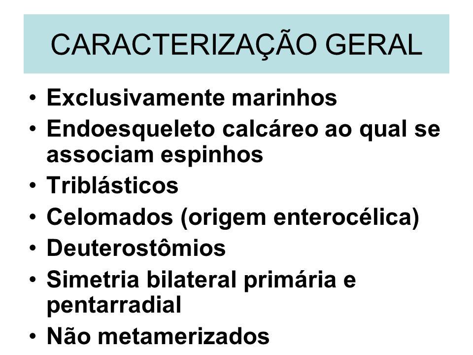 CARACTERIZAÇÃO GERAL Exclusivamente marinhos Endoesqueleto calcáreo ao qual se associam espinhos Triblásticos Celomados (origem enterocélica) Deuteros