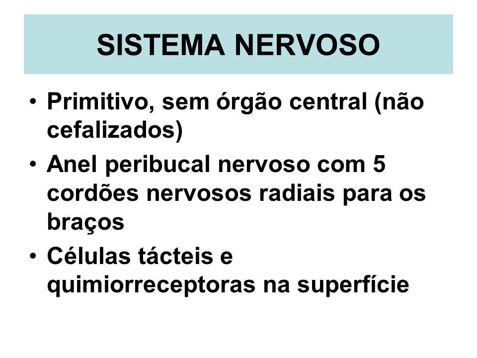 SISTEMA NERVOSO Primitivo, sem órgão central (não cefalizados) Anel peribucal nervoso com 5 cordões nervosos radiais para os braços Células tácteis e