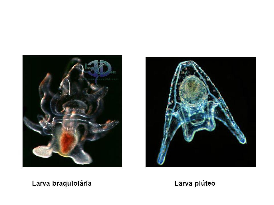 Larva braquioláriaLarva plúteo