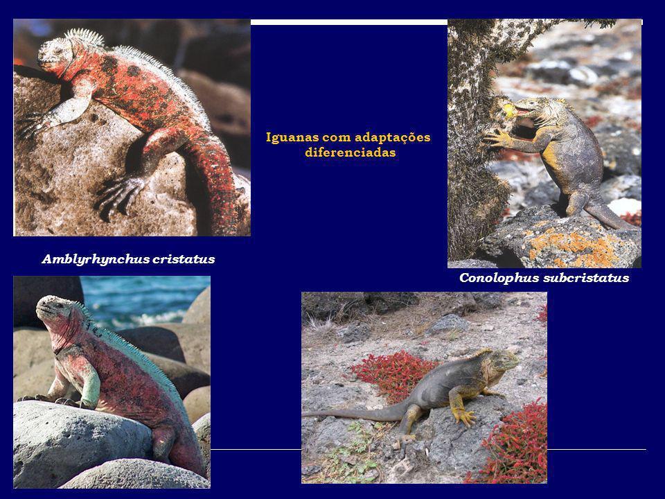Amblyrhynchus cristatus Conolophus subcristatus Iguanas com adaptações diferenciadas