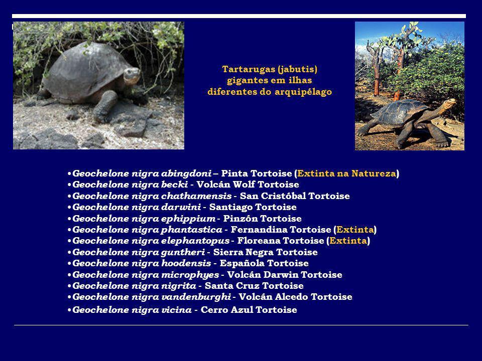 Geochelone nigra abingdoni – Pinta Tortoise (Extinta na Natureza) Geochelone nigra becki - Volcán Wolf Tortoise Geochelone nigra chathamensis - San Cr