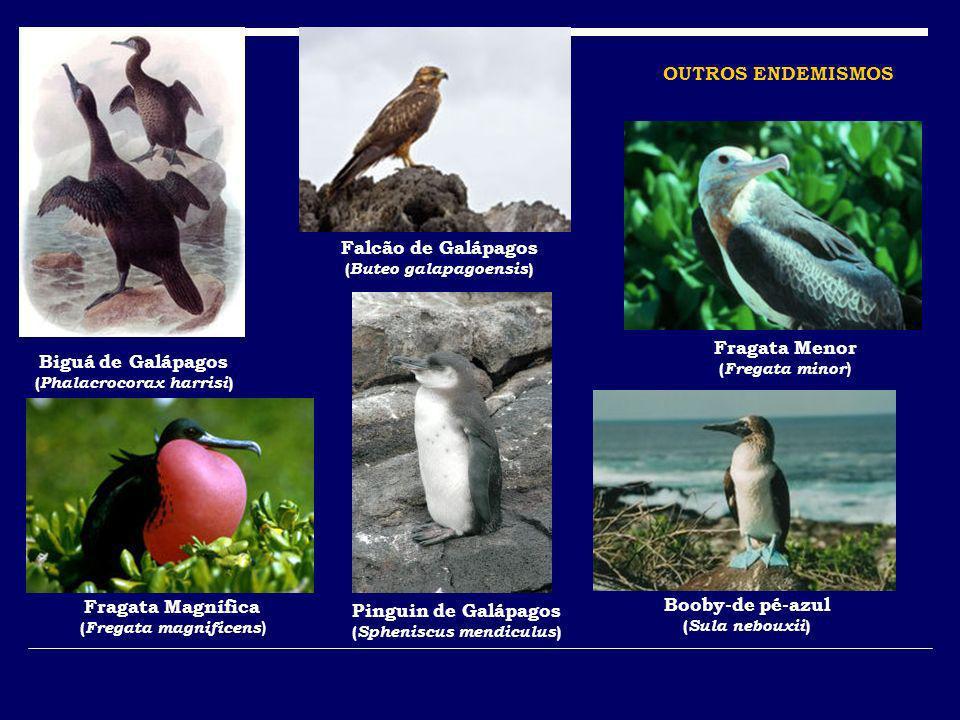 Biguá de Galápagos ( Phalacrocorax harrisi ) Falcão de Galápagos ( Buteo galapagoensis ) Fragata Menor ( Fregata minor ) Fragata Magnífica ( Fregata m