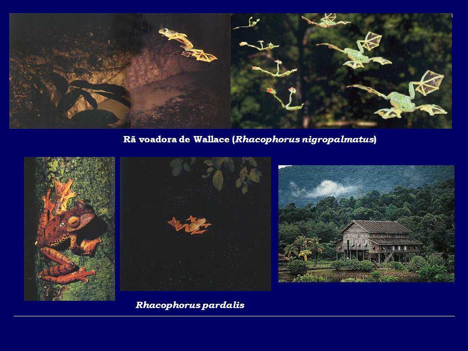 Rã voadora de Wallace ( Rhacophorus nigropalmatus ) Rhacophorus pardalis