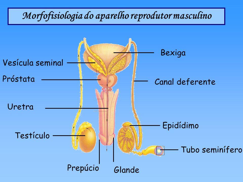 Morfofisiologia do aparelho reprodutor masculino Canal deferente Bexiga Próstata Epidídimo Testículo Tubo seminífero Vesícula seminal Prepúcio Glande