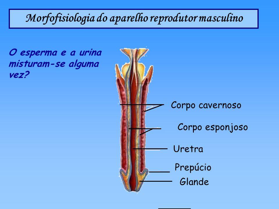 Morfofisiologia do aparelho reprodutor masculino Prepúcio Uretra Corpo esponjoso Corpo cavernoso Glande O esperma e a urina misturam-se alguma vez?