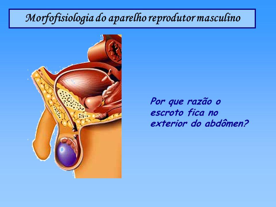 Morfofisiologia do aparelho reprodutor masculino Por que razão o escroto fica no exterior do abdômen?
