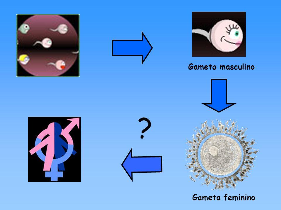 Complementaridade funcional entre os Aparelhos Reprodutores de ambos os sexos Ambos evidenciam a presença de: Um par de gônadas; Um par de canais que transportam as células sexuais; Um aparelho reprodutor externo.