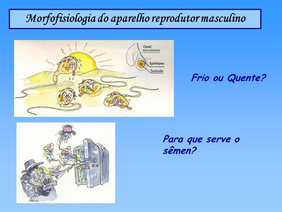 Morfofisiologia do aparelho reprodutor masculino Frio ou Quente? Para que serve o sêmen?
