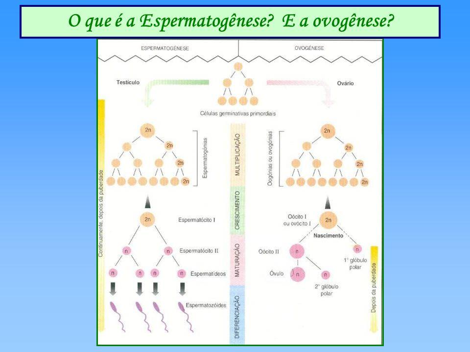E a Ovógenese ? O que é a Espermatogênese? E a ovogênese?