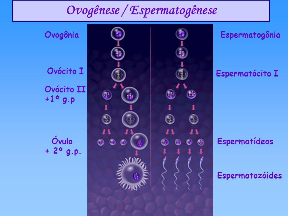 Ovogênese / Espermatogênese Ovócito I Ovogônia Espermatócito I Espermatogônia Óvulo + 2º g.p. Ovócito II +1º g.p Espermatídeos Espermatozóides