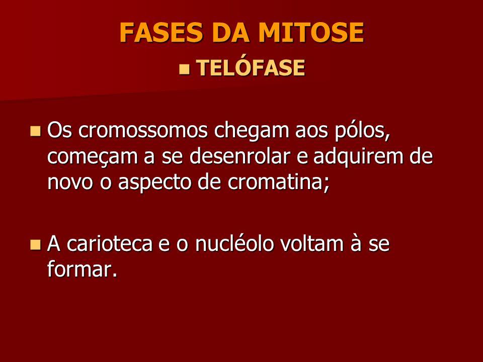 FASES DA MITOSE ANÁFASE ANÁFASE As cromátides-irmãs separam-se e são levadas para os pólos opostos da célula. As cromátides-irmãs separam-se e são lev