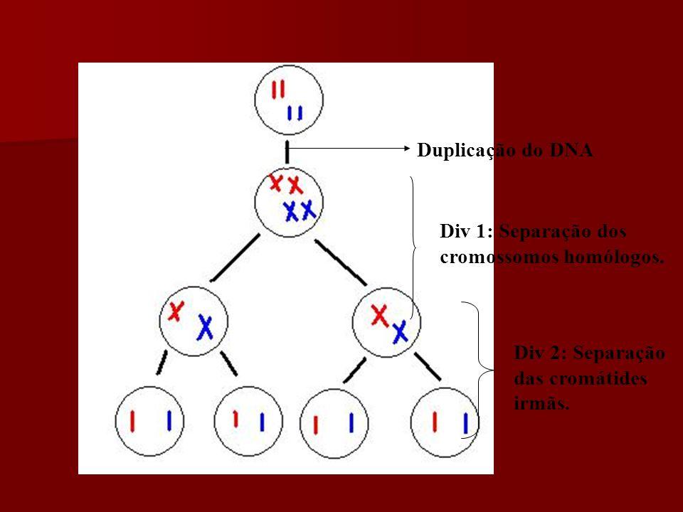 MEIOSE: Importância e Finalidades Redução do número de cromossomos à metade.