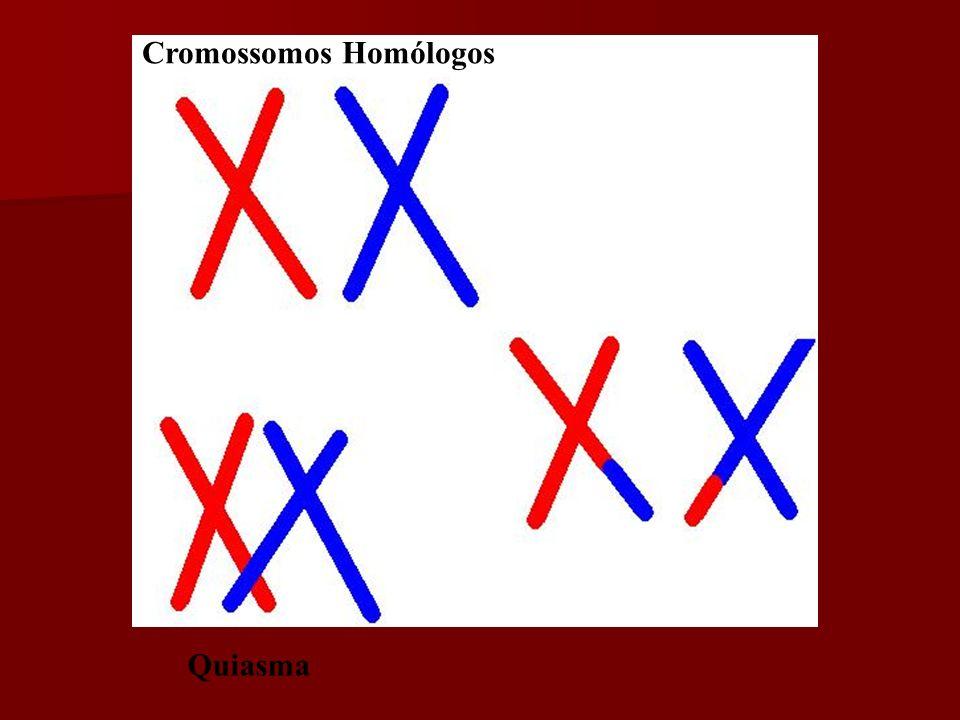 Crossing over Importância: Importância: Aumento da variabilidade genética. Troca de seqüências de DNA entre cromossomos homólogos. Troca de seqüências