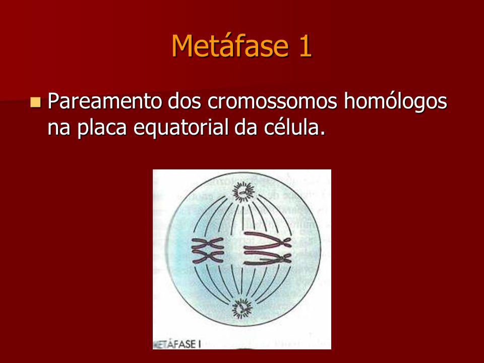 Diplóteno Melhor visualização dos quiasmas (pontos de contato entre as cromátides) Diacinese Os cromossomos migram para o equador da célula