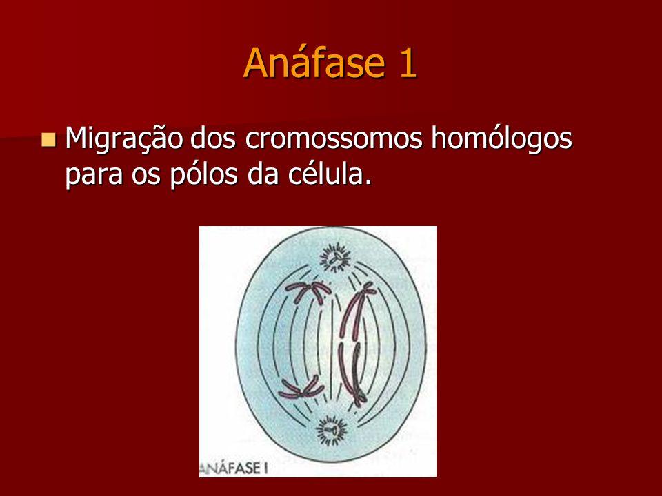 Metáfase 1 Pareamento dos cromossomos homólogos na placa equatorial da célula.