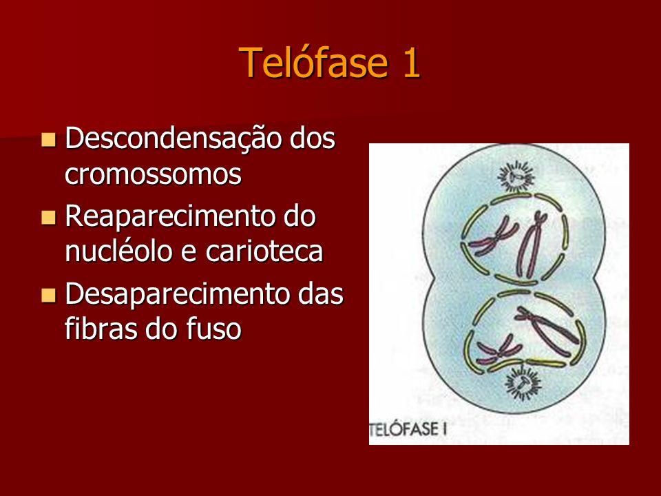 Anáfase 1 Migração dos cromossomos homólogos para os pólos da célula.