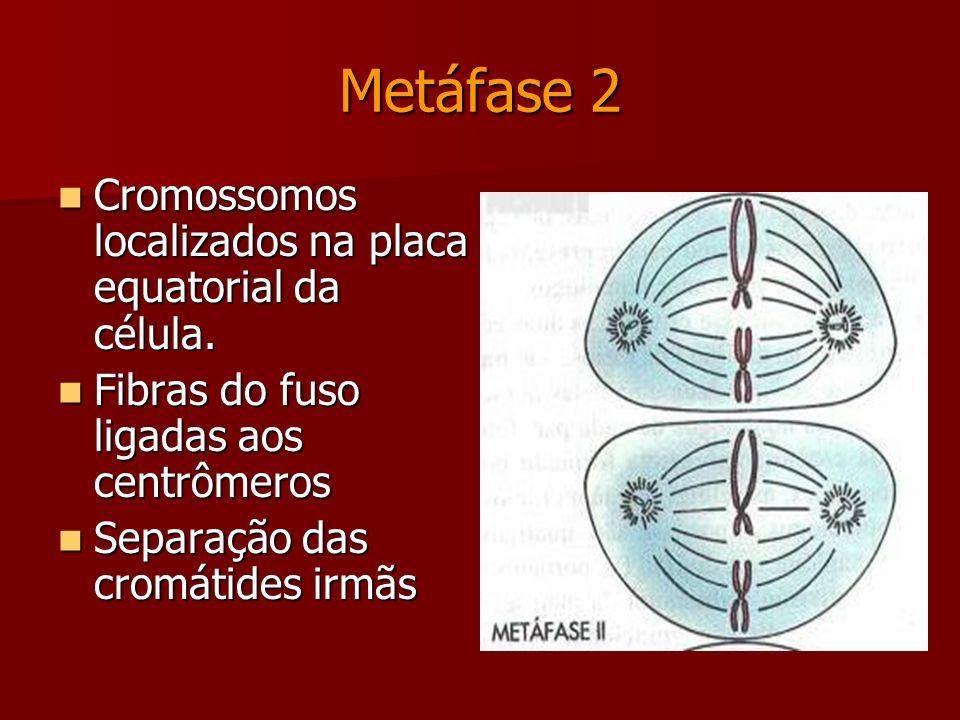 Prófase 2 Duplicação e migração dos centríolos para os pólos opostos da célula. Duplicação e migração dos centríolos para os pólos opostos da célula.