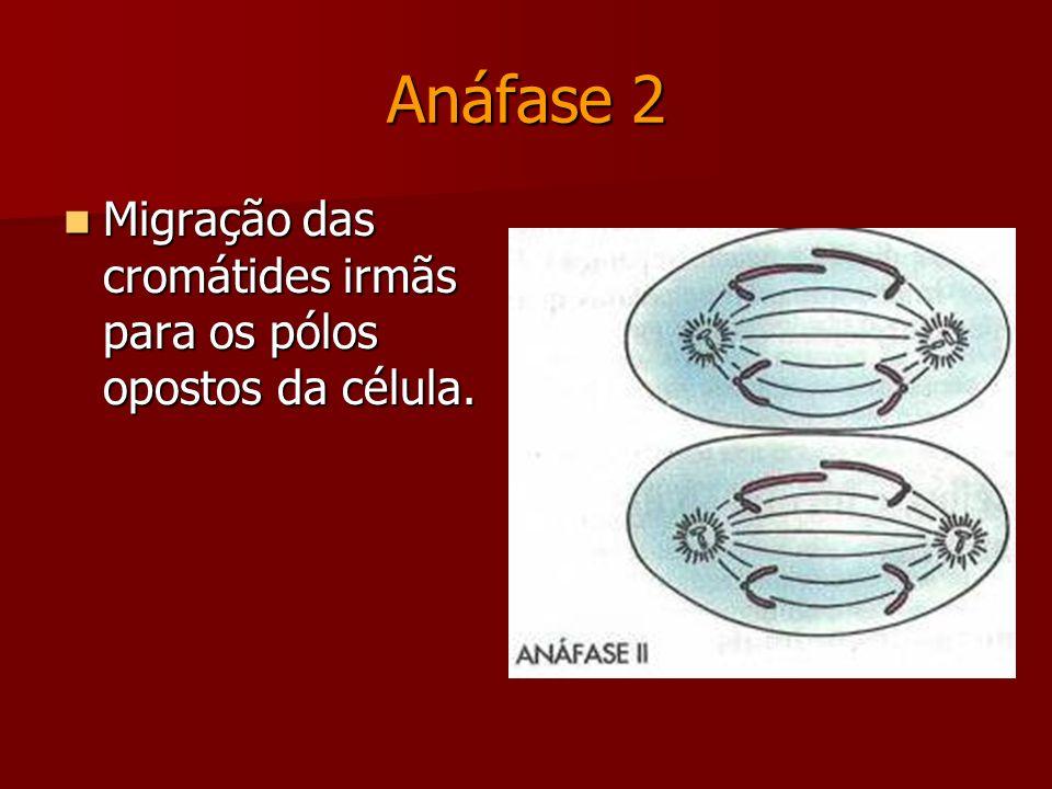 Metáfase 2 Cromossomos localizados na placa equatorial da célula. Cromossomos localizados na placa equatorial da célula. Fibras do fuso ligadas aos ce