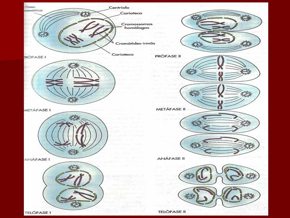 Telófase 2 Reaparecimento da carioteca e nucléolo Reaparecimento da carioteca e nucléolo Descondensação dos cromossomos Descondensação dos cromossomos