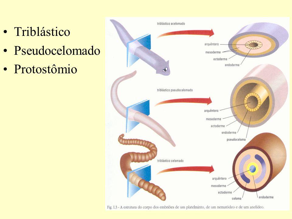 Amarelão, ancilostomose ou necatoriose Causador – Ancylostoma duodenale Necator americanus Ciclo monóxeno – Homem (HD) cutâneo-fecal