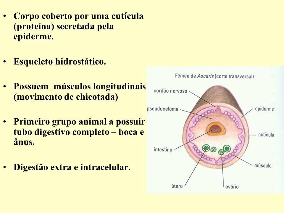 Corpo coberto por uma cutícula (proteína) secretada pela epiderme. Esqueleto hidrostático. Possuem músculos longitudinais (movimento de chicotada) Pri