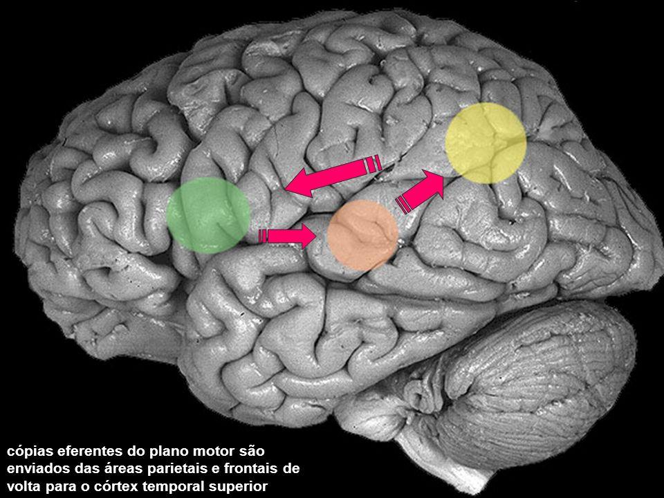 cópias eferentes do plano motor são enviados das áreas parietais e frontais de volta para o córtex temporal superior